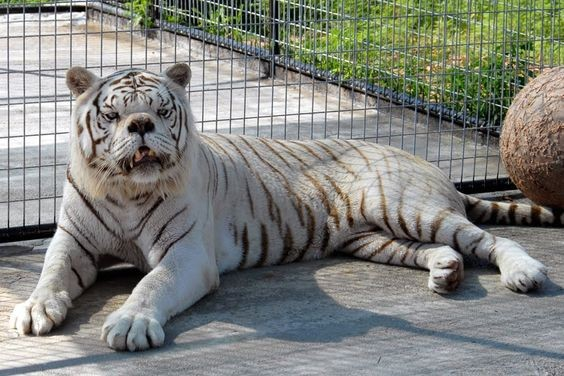 Disorder of the Genetic Diversity of White Tigers