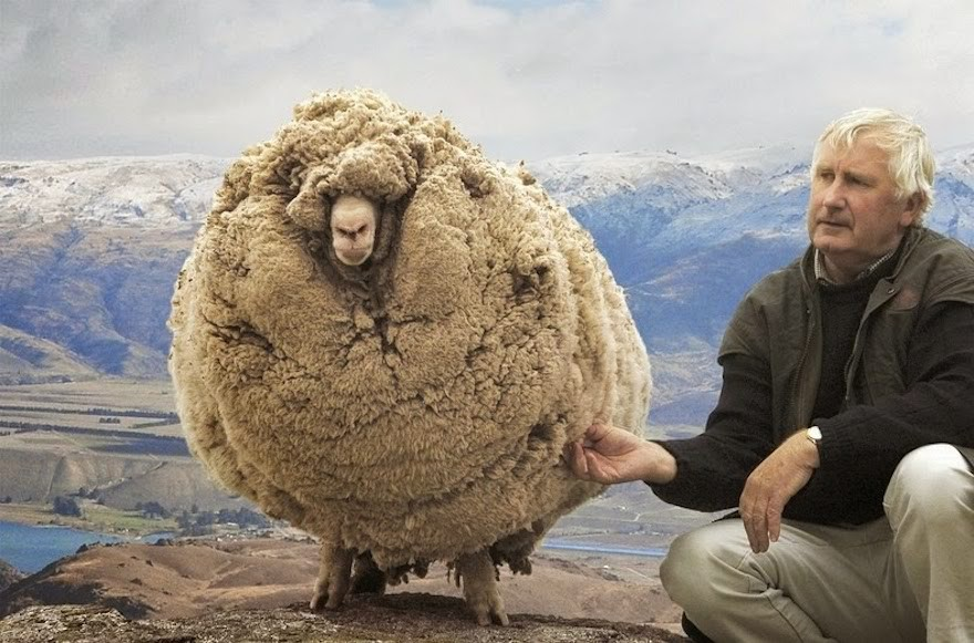 Eventually, the rebellious sheep was discovered