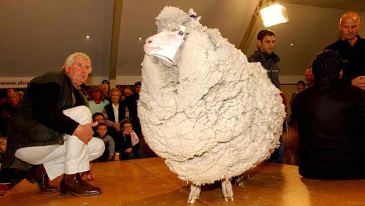 It is normal for Merino sheep to be sheared once a year