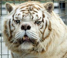 Multiple Deformities of White Tigers