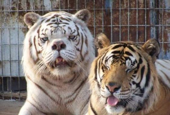Multiple Deformities of White Tigers2