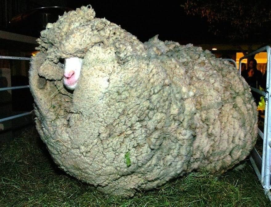 Shrek produced around 60 pounds of coat