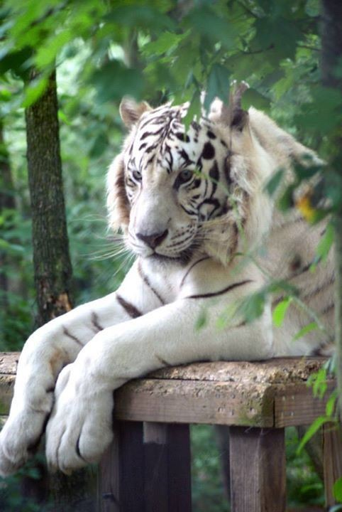 White Tigers for Profit